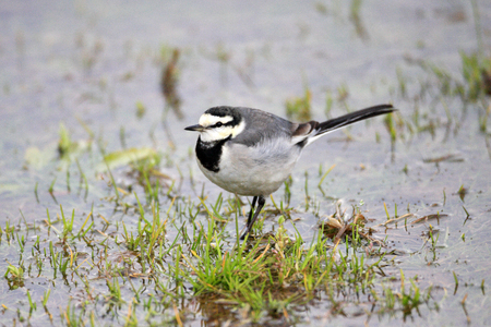 wagtail: Japanese  Kamchatka  Pied Wagtail or Black-backed Wagtail  Motacilla alba lugens  in Japan