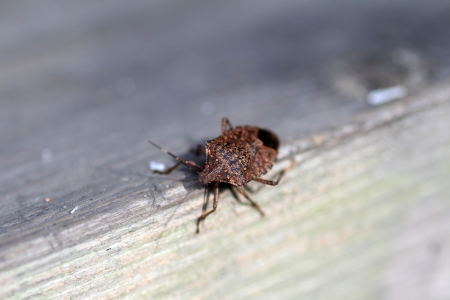 stink: Brown marmorated stink bug  Halyomorpha halys  in Japan