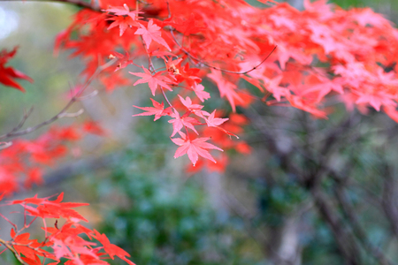Japanese maple in Japan Stock Photo - 24077865