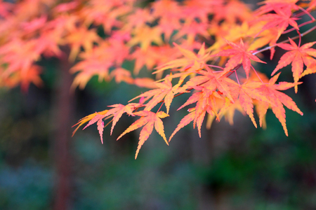 Japanese maple in Japan Stock Photo - 24077866