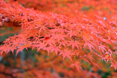 Japanese maple in Japan photo