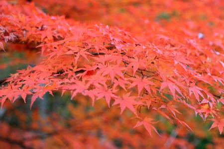Japanese maple in Japan Stock Photo - 24077867