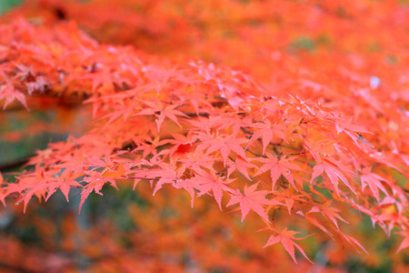 Japanese maple in Japan Stock Photo - 24077868