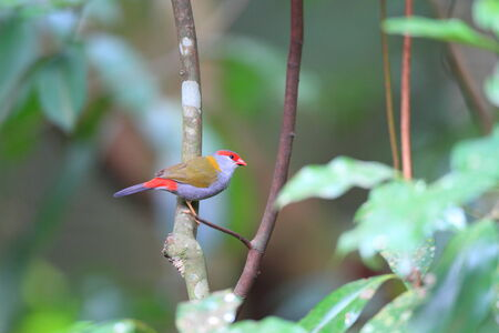cairns: Red-browed Finch  Neochmia temporalis  in Cairns,Australia Stock Photo
