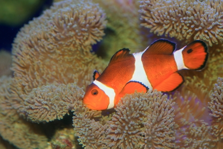 ocellaris: Ocellaris clownfish or Common clownfish or False percula clownfish  Amphiprion ocellaris  in Japan Stock Photo