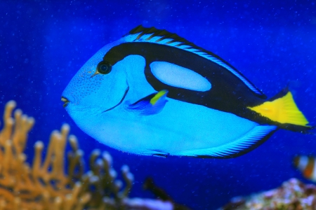 Blue tang or Regal tang or Palette surgeonfish  Paracanthurus hepatus  in Japan photo