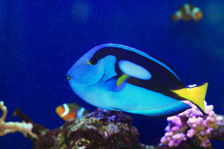 Blue tang or Regal tang or Palette surgeonfish  Paracanthurus hepatus  in Japan Stock Photo - 24354441