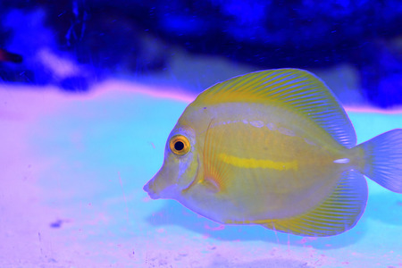 flavescens: Yellow surgeon fish  Zebrasoma flavescens  in Japan Stock Photo