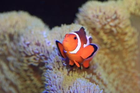 false percula clownfish: Ocellaris clownfish or Common clownfish or False percula clownfish  Amphiprion ocellaris  in Japan Stock Photo