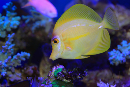 Yellow surgeon fish  Zebrasoma flavescens  in Japan photo