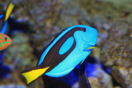 hepatus: Blue tang or Regal tang or Palette surgeonfish  Paracanthurus hepatus  in Japan