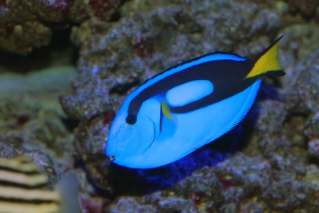 Blue tang or Regal tang or Palette surgeonfish  Paracanthurus hepatus  in Japan Stock Photo - 24355435