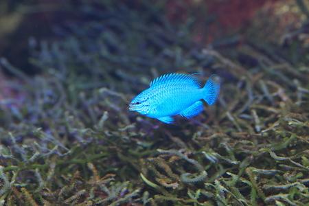 サファイア悪魔の魚 Chrysiptera cyanea 日本