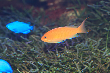 basslet: Flame fairly bassle or Redfin anthias  Pseudanthias dispar