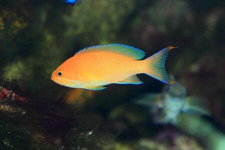 basslet: Llama bastante bassle o Redfin anthias Pseudanthias dispar Foto de archivo