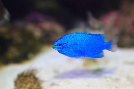 サファイア悪魔の魚日本 Chrysiptera cyanea 写真素材