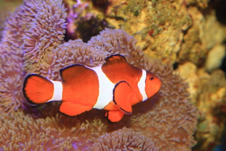 false percula: Ocellaris clownfish or Common clownfish or False percula clownfish  Amphiprion ocellaris  in Japan Stock Photo