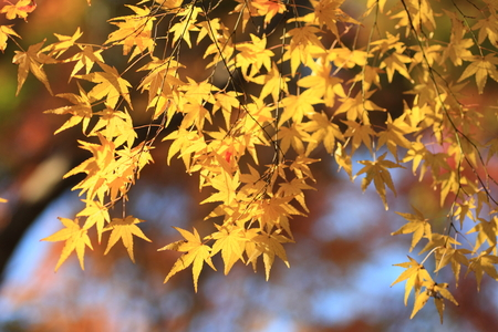 tinted: tinted autumnal leaves in Japan Stock Photo