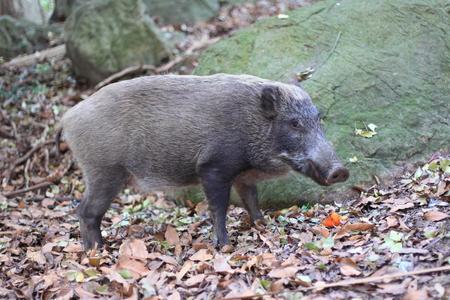 日本で日本の猪イノシシ