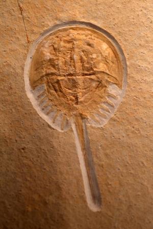 日本におけるカブトガニの化石
