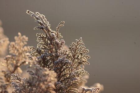 Japanese cedar photo