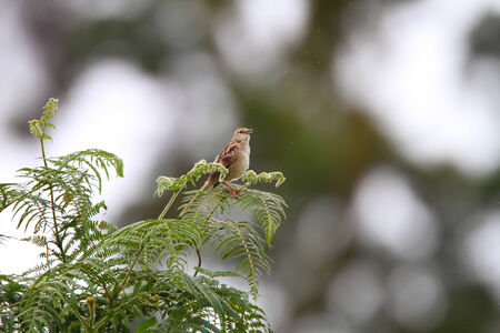 striated: Striated Grassbird  Megalurus palustris  singing at early morning in Luzon,Philippines