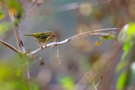 Kloss s Leaf Warbler  Phylloscopus ogilviegranti  in South Vietnam Stock Photo