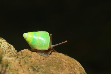 スリランカ緑カタツムリ Beddomea albizonatus でシンハラジャ森林保護区、スリランカ 写真素材