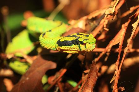 Green pit viper  Trimeresurus albolabris  in Sri Lanka photo