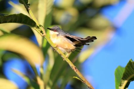 ashy: Ashy Prinia or Ashy Wren-Warbler  Prinia socialis  in Sri lanka