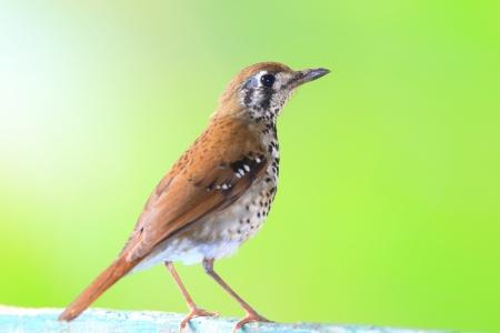 スリランカのスポット翼ツグミやスポット翼地面ツグミ Geokichla spiloptera
