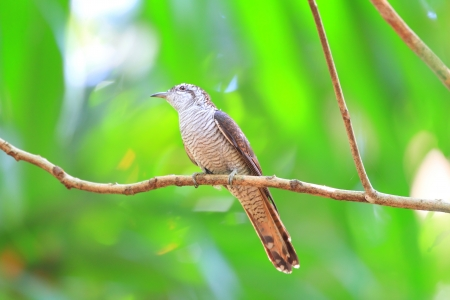 Banded Bay Cuckoo  Cacomantis sonneratii  in Sri Lanka photo