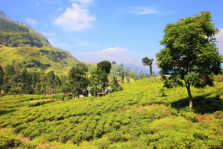 Ceylon tea plantation in Sri Lanka photo