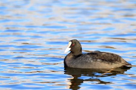 coot: Eurasian or common coot  Fulica atra  in Japan