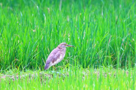 スリランカのインドの池のサギ Ardeola grayii 写真素材
