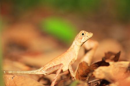 スリランカのスリランカ カンガルー トカゲ Otocryptis wiegmanni 写真素材