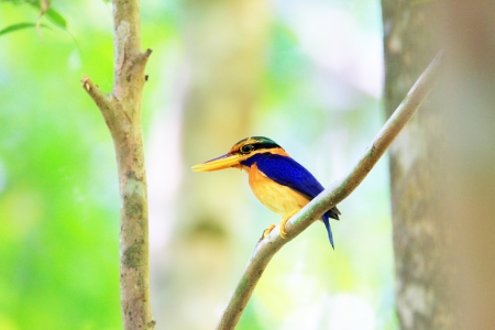 alcedinidae: Rufous collared kingfisher  Actenoides concretus  in Thailand