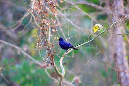 caeruleus: Caeruleus Azul tordo que silba Myophonus en el Parque Nacional Nameri, Assam, India