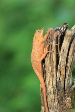 スリランカの rhino 角トカゲ Ceratophora stoddartii