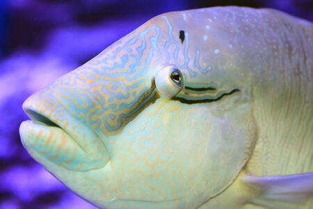 Humphead wrasse  Cheilinus undulatus  close up photo