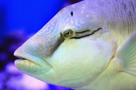 cheilinus undulatus: Humphead wrasse  Cheilinus undulatus  close up