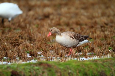 anser: Greylag goose  Anser anser  in Japan