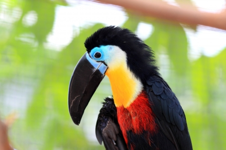 Channel-billed Toucan  Ramphastos vitellinus  photo
