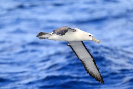 Shy Albatross  Thalassarche cauta  in Sydey