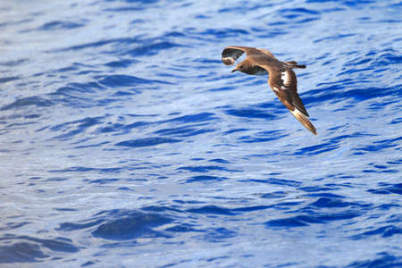 stercorarius: Pomarine Jaeger  Stercorarius pomarinus  in NSW, South Australia Stock Photo