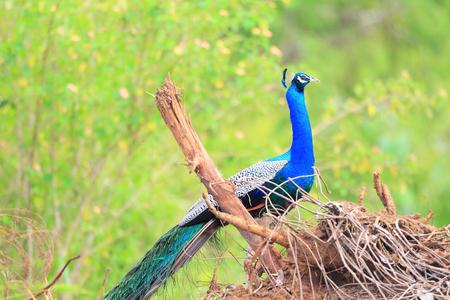 pavo: Indian Peafowl  Pavo cristatus  in Sri Lanka