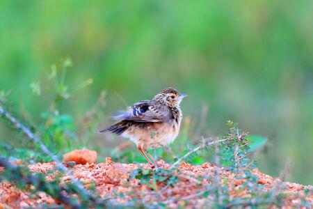 スリランカの Mirafra のアフィニスの鳥
