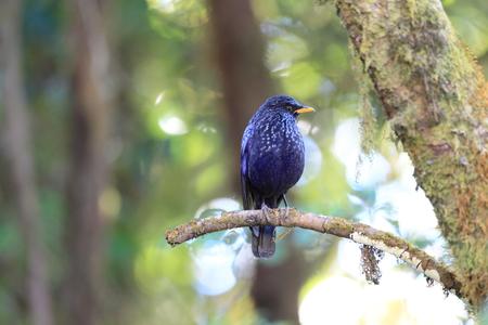 北タイの青い口笛ツグミ Myophonus caeruleus 写真素材