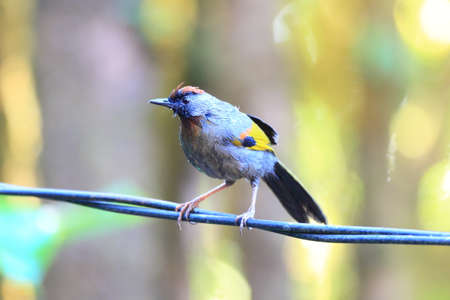 laughingthrush: Chestnut-crowned Laughingthrush  Trochalopteron erythrocephalum  in North Thailand