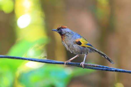 北タイの栗戴冠ガビチョウ亜科 Trochalopteron erythrocephalum